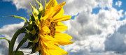 Daydream Photo Posters - Ah Sunflower Poster by Bob Orsillo