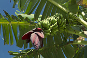 Maia Photos - Ahui Maia O Wailea - Banana Flower by Sharon Mau