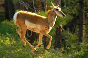 Pronghorn Photos - Airborn Pronghorn by Adam Jewell