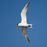 Tern Photos - Airborne... by Nina Stavlund