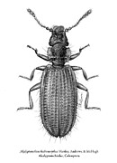 Beetle Drawings - Akalyptoischion hadromorphus Hartley Andrews and McHugh Akalyptoischiidae Coleoptera by Tatiana Kiselyova