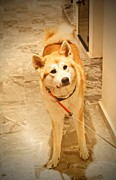 Japanese Dog Photos - Akita dog by Donald Plozha