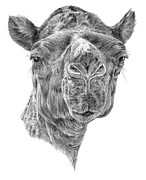 Animal Drawings - Al Jamal by Denise Wood