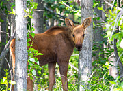 Sam Amato - Alaska Baby Moose