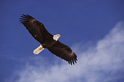 Flying Photos - Alaska. Bald Eagle Flying by Anonymous