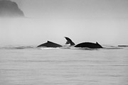 Seascape Metal Prints - Alaska Humpback Whale Series Metal Print by Josh Whalen