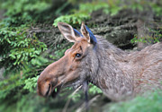 Bull Moose Photo Posters - Alaska Moose Poster by Debra  Miller