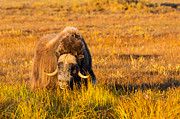 Sam Amato - Alaska Musk Ox