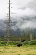 Alaska Wildlife Photos - Alaska Musk Ox by Saya Studios