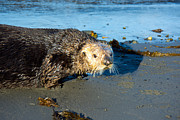 Otter Photos - Alaska Sea Otter by Debra  Miller