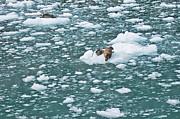 Alaska Seals Print by Aimee L Maher