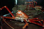 Alaskan King Crab 5d24125 Print by Wingsdomain Art and Photography