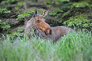Moose Photos - Alaskan Moose by Debra  Miller