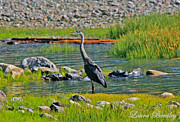 Laura Bentley - Alberta Blue Heron