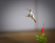 Vision Photos - Albino Hummingbird by Charles Dobbs