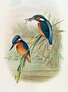Colorful Animals Drawings Framed Prints - Alcedo Ispida plate from The Birds of Great Britain by John Gould Framed Print by John Gould William Hart