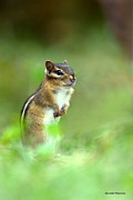 Eastern Chipmunk Photos - Alert Chipmunk by Gerald Marella