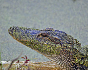American Alligator Prints - Algae Gator Print by Al Powell Photography USA