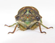 Cicada Photos - Alien Invasion by David and Carol Kelly