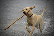 Water Retrieve Posters - All About the Stick Poster by Loree Johnson