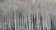 Aspen Prints - All Aspen Print by Carol Sweetwood
