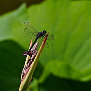 Byron Varvarigos - All Black Ninja Dragonfly