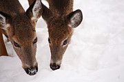 Deer In Snow Prints - All Eyes On Me Print by Karol  Livote