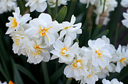 Jonquils Originals - All In White by Ira Shander