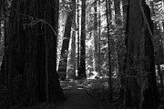 Avenue Of The Giants Prints - All Is Quiet Print by Laurie Search