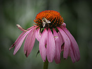 Cone Flower Prints - All Mine Print by Ernie Echols