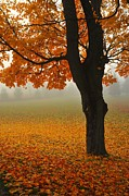 Fall Trees Posters - All That Glitters is Not Gold 3 Poster by Terri Gostola