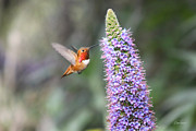 Diana Haronis Posters - Allen Hummingbird on Flower Poster by Diana Haronis
