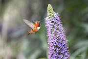 Diana Haronis - Allen Hummingbird on Flower