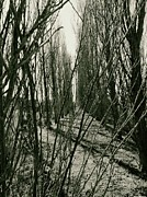 Anne Thurston - Alley of Trees