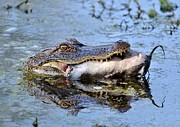 Kathy Baccari - Alligator Catches Catfish