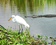 Great Egret Framed Prints - Alligator Egret and Shrimp Framed Print by Al Powell Photography USA