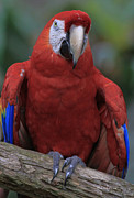 Macaw Photos - Alligator Farm Buddy by Deborah Benoit