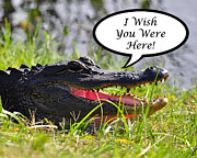 Florida Gators Framed Prints - Alligator Greeting Card Framed Print by Al Powell Photography USA