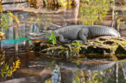 Sunbathing Metal Prints - Alligator mississippiensis Metal Print by Christine Till