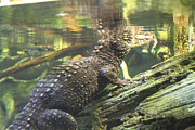 Alligators Photos - Alligator - National Aquarium in Baltimore MD - 12123 by DC Photographer