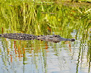 American Alligator Prints - Alligator Reflection Print by Al Powell Photography USA