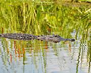 Alligator Reflection Print by Al Powell Photography USA
