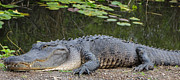 Natural Focal Point Photography - Alligator Resting