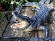 Reptiles Sculpture Posters - Alligator Sculpture 13 Ft Huge Poster by Chris Dixon