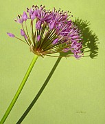 Flowering Bulbs Prints - Allium Print by Chris Berry