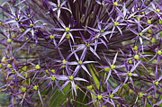 Color Purple Metal Prints - Allium Christophii Flower Pattern Metal Print by Tim Gainey