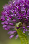 Selective Soft Focus Prints - Allium Curl Print by Anne Gilbert