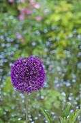 Allium Hollandicum Purple Sensation Flower Print by Tim Gainey
