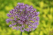 Allium Print by Jim Nelson