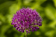 John Hallett - Allium